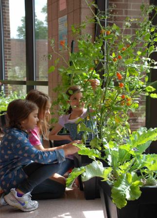 IForbes School Garden tomato plant